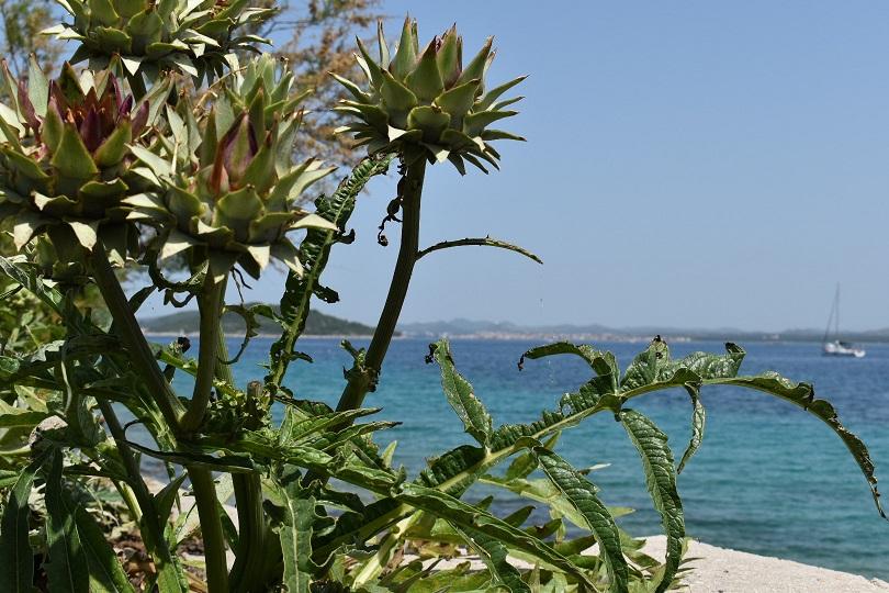 Seaside Artichoke